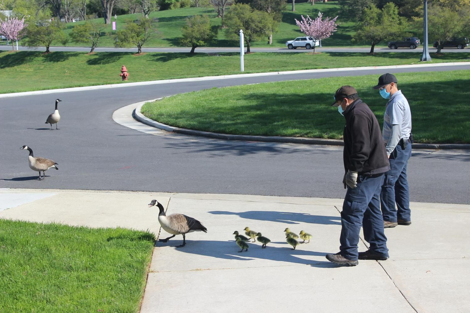 Escorting the newborn baby geese out of the courtyard.